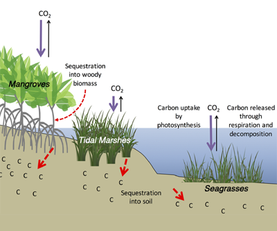 quantifying coastal and marine ecosystem carbon storage potential for  climate mitigation policy and management