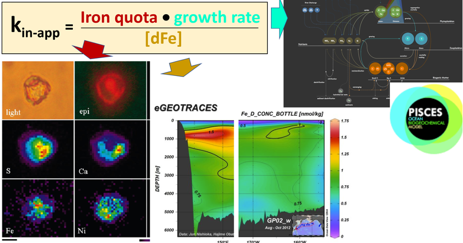 Figure 1: The new bioavailability proxy (an uptake rate constant-kin-app) was calculated for ~1000 single cells from multiple ocean regions. For each cell, the iron quota was measured with synchrotron x-ray fluorescence (left panel), a growth rate was estimated from the PISCES model for the corresponding phytoplankton group (right panel), and the dissolved Fe concentration was measured concurrently (middle panel).