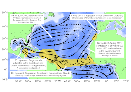 Figure 1. The hypothesized route of Sargasso Sea Sargassum to the tropical Atlantic and the Caribbean Sea. The solid black lines indicate the climatological surface flow, the dashed black lines indicate areas where there was variability from the average conditions.